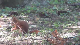 squirrel eats a nut - Video