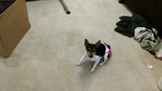 Rat Terrier demonstrates new tricks