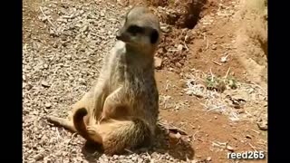 My Funny Meerkat - Video