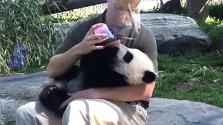 Panda cub gets bottle fed at Toronto Zoo