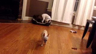 Chihuahua Gets Tricked Out Of Bed By His Puppy Brothers - Video