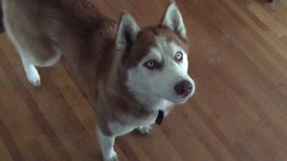 Siberian Husky hilariously struggles to catch food - Video