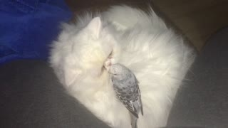Quiet Parrot is playing on cats patience - Video