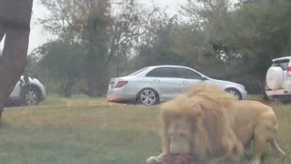 Lion pride viciously pounce on delivered meat - Video