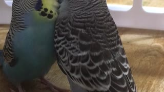 Budgies meet for the first time - Video