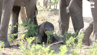 Hilarious Baby Elephant's First Steps - Video