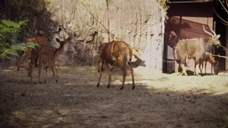 Young Nyala Deers Live With Family In Zoo