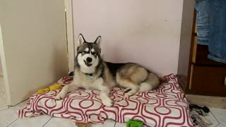 Husky dog sings 'I Feel Good'