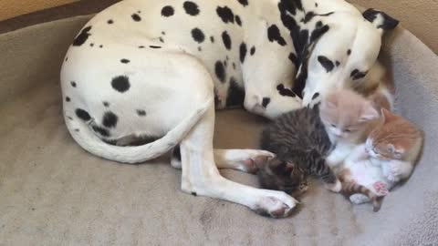 Dalmatian adopts foster kittens as her own