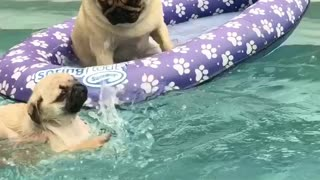 Pug puppy's priceless first swimming lesson