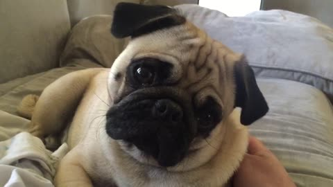 Cute Pug performs adorable head turns