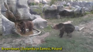 Brown Bears | Zoolandia in Zamość, Poland - Video