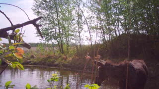 Baby Moose having a swim - Video