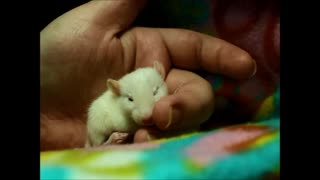How to properly brush a baby rat  - Video