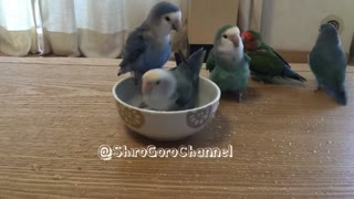 Flock of parrots take turns for bath time - Video
