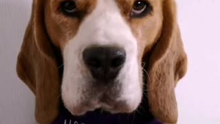 Covid lockdown discussed by Billy the Beagle