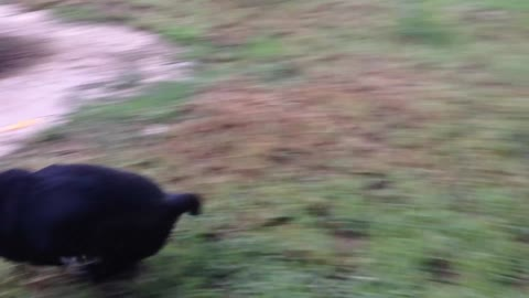 Puppy Trips Over Whilst Friend Chasing Her