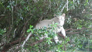 Young white lion relaxes in a tree - Video