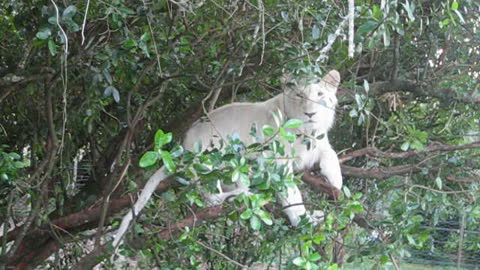 Young white lion relaxes in a tree