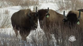 Bison reintroduced to Banff National Park for first time in over 100 years - Video