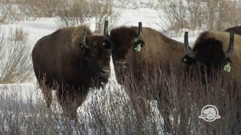 Bison reintroduced to Banff National Park for first time in over 100 years