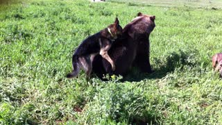 Bear and dog - Video