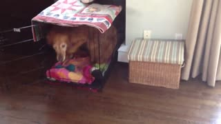 Clever Golden Retriever Cleans Up His Toys