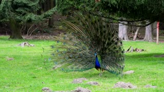 Male Peacock Displaying beautiful