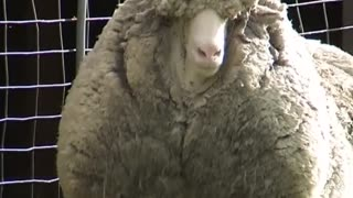 """Shaun"" the sheep could be the world's woolliest - Video"