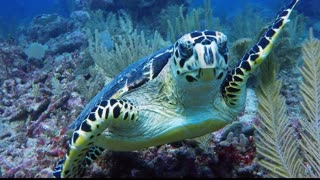 Critically endangered sea turtle swims with divers - Video