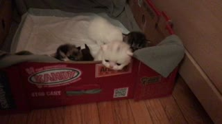 Kittens in the Box  - Video