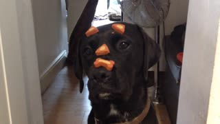 Medicated dog casually performs trick - Video