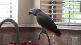 Talking parrot chants for his favorite food - Video