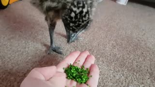 Kevin the emu LOVES brocolli  - Video