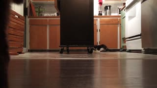 Luna chases and captures a toy - Video