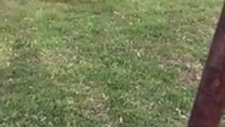 Cat chases Dog  - Video