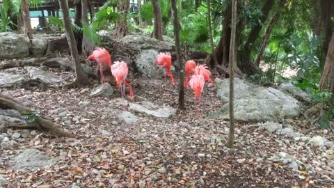 Look at this bright colour American flamingo socializing with each other - Part 1