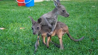 Rescued Kangaroo Joeys Ready For A Better Life