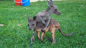 Rescued kangaroo joeys ready for better life - Video