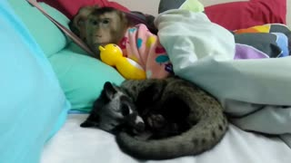 Monkey couple share bed with new furry friend - Video