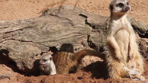 New Meerkat pups born at Taronga Zoo in Sydney