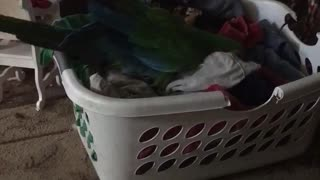Sam the macaw helps with laundry - Video