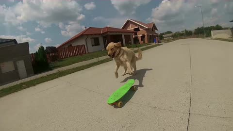 Meet Happy, the skateboarding dog!