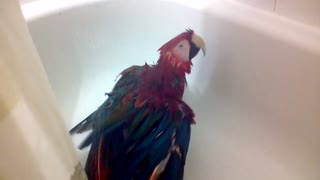 Macaw goes bonkers for shower playtime - Video