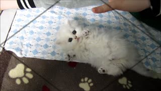 This fluffy kitten's reaction will make your day - Video