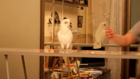 Dancing parrot demonstrates his amazing moves