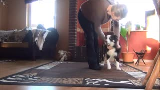 Training with young Border Collie