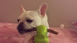 French Bulldog unsure what to do this large treat on duck!