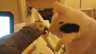 Parrot vs Cat - Video