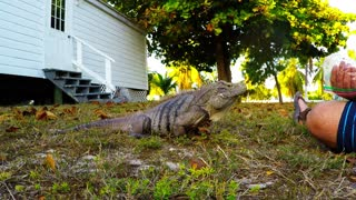 Wild iguana comes running for red peppers
